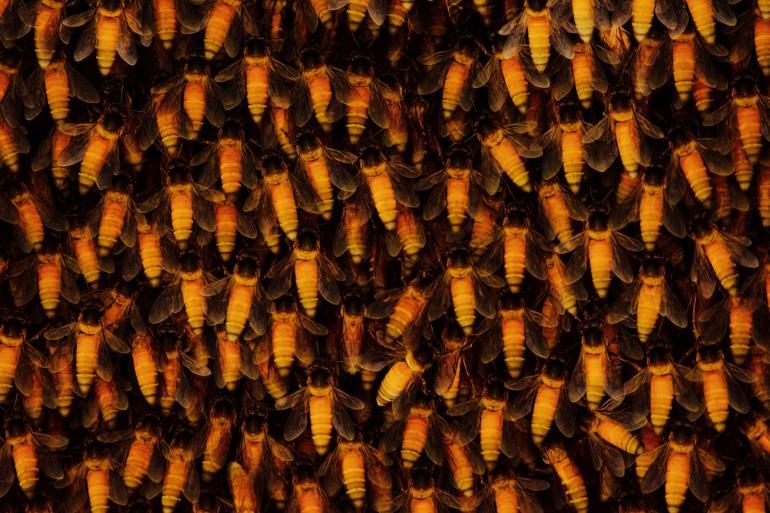 Riesenhonigbiene
