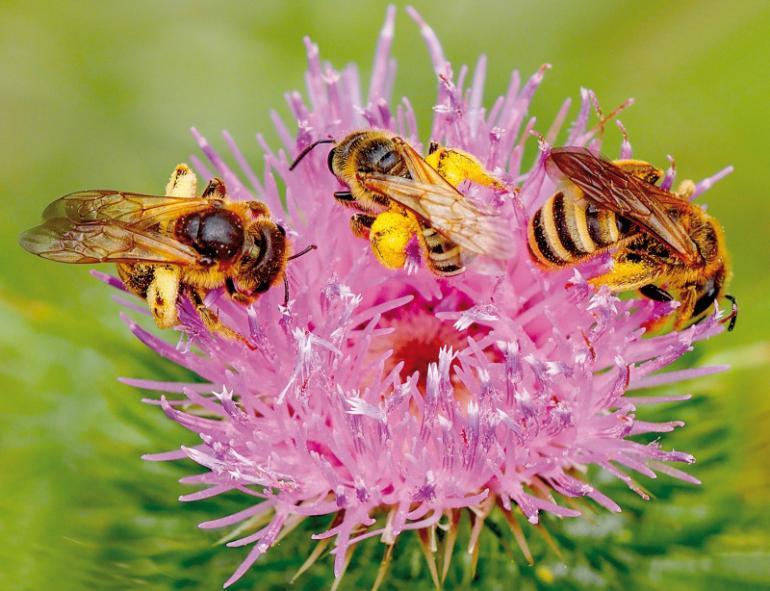 gelbbindige furchenbiene ist wildbiene des jahres 2018. Black Bedroom Furniture Sets. Home Design Ideas